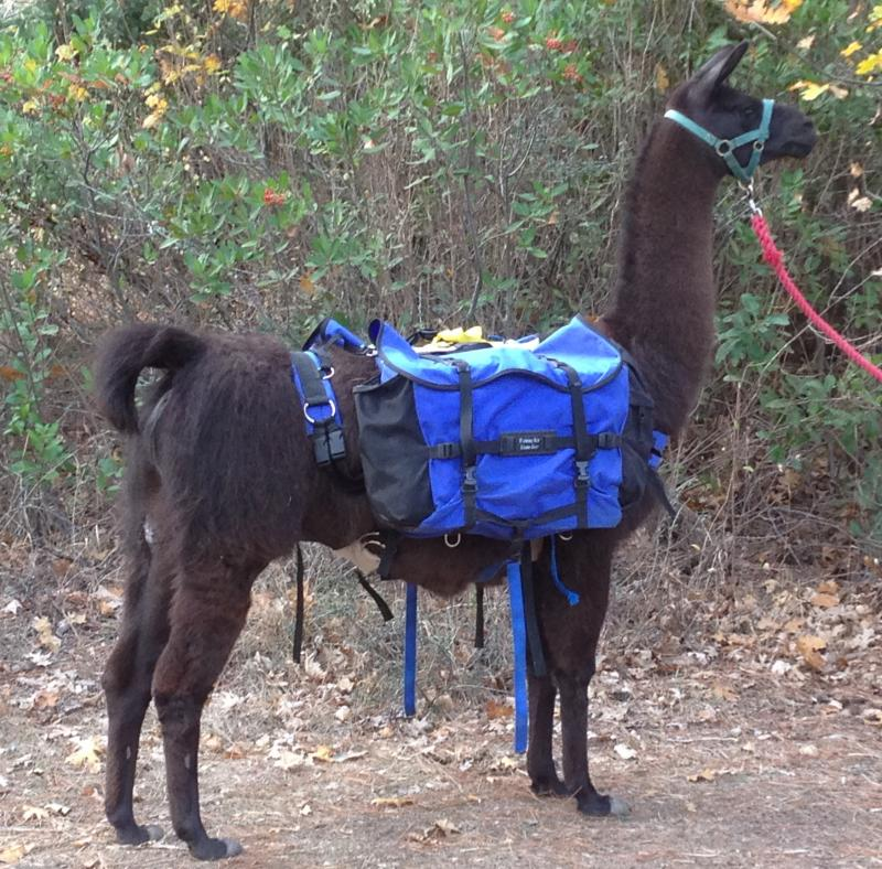 Cautley Fair O'Joy (Peppy) PLTA Advanced Pack LLama